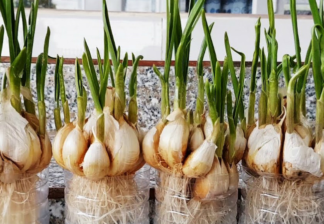 Fresh garlic can be grown year-round on the windowsill and, moreover, without any fuss with the ground and top dressing. We place the seedlings i